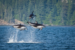 Pacific White Sided Dolphins in Johnstone Strait, British Columbia (Anne McKinnell) Tags: animal britishcolumbia campbellriver dolphin nodaleschannel ocean pacificocean pacificwhitesideddolphin wildlife