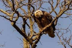 Bald Eagle with eyes on target (jmfuscophotos) Tags: americanbaldeagle baldeagle birdofprey nature bird birds newyork wildlife westchestercounty eagle raptor ny
