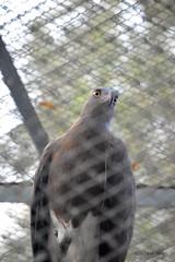 every eye has an unique talk (demha.sifan.99) Tags: birds zoo zoolife wildlife wild nature eagle eyes nikon3200 nikon cagelife bigbird chittagong chittagongzoo