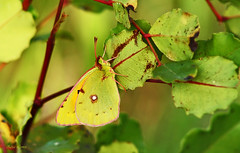 Colias croceus (Zéza Lemos) Tags: borboleta butterflies canon macro campo jardim jardins coliascroceus mariposa mariposas alfarrobeira lagarta lagartas algarve portugal vilamoura vida natureza natur natural camuflagem