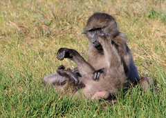Babouin Chacma - Cape of Goop Hope/Western Cape/South Africa_20181122_013-1 (Patrick Monney) Tags: babouinchacma papioursinus chacmababoon capebaboon bärenpavian babuinochacma медвежийпавиан cercopithécidés cercopithecidae mammifère mammal faunesauvage wildlife mammalsofsouthafrica mammifèresdafriquedusud southafrica afriquedusud westerncape capoccidental capepoint capeofgoodhope capdebonneespérance