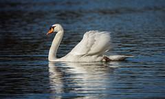 Mute Swan on the Lake (Franck Zumella) Tags: lake lac white swan blanc cygne eau water animal nature bird oiseau blue bleu boss swim swimming nager mute tubercule tuberculé reflection reflexion sony a7s a7 tamron 150600