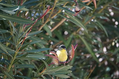 Bird Shots of 2/22/19 (boxbabe86) Tags: bird nature lessengoldfinch oleander sony february backyard california feathered goldfinch a6000 friday ilovenature shots