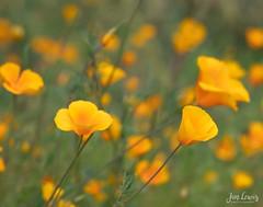California Poppies in Arizona (jklewis4) Tags: field yellow flower californiapoppies arizona arizonasonoradesertmuseum