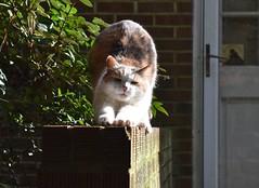I saw my friend, the lovely Gracie Jo, today (rootcrop54) Tags: graciejo dilute calico female cat friend neighbor neighbors neko macska kedi 猫 kočka kissa γάτα köttur kucing gatto 고양이 kaķis katė katt katze katzen kot кошка mačka gatos maček kitteh chat ネコ