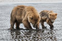 _HB31691 (Hilary Bralove) Tags: lakeclarknationalparkbrownbearsbearsalaskanikonwildlifegrizzlygrizzlybearbrownbearanimalswildlifephotographer alaksa brownbears grizzlybears bear bears grizzly brownbeargrizzly bearlake clarkwildlifealaska wildlifenikonlake clark national park