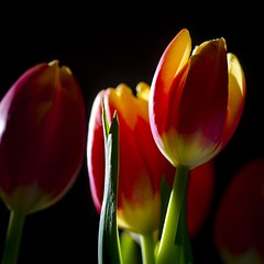 Shining tulips 🌷 (Martin Bärtges) Tags: naturephotography naturfotografie natur nature nikonphotography nikonfotografie d7000 nikon studiophotographer studio inside farbenfroh colorful blumen blüten tulips tulpen flowers