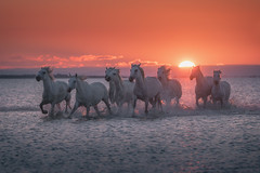 The Spirit of the Horses (Iurie Belegurschi www.iceland-photo-tours.com) Tags: adventure beautiful beach coastal daytours dreamscape earth enchanting equine equines europe european equestrian fineartlandscape fineartphotography fineartphotos guidedphotographyworkshops guidedphotographytour horse horsesrunning horses icelandphototours iuriebelegurschi sky landscape landscapephotography landscapephoto landscapes landscapephotos nature outdoor outdoors orange phototours phototour summer serene sunset seascape sea tours travel travelphotography view workshop workshops water camargue whitehorsesofcamargue white whitehorses france french southernfrance