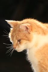 IMG_3694 (christineNZ2017) Tags: auckland newzealand furbaby furbabies cats cat feline gato animal mammal neko kattekop katt fur kitty katze katzen chat gatto kissa kot pisica moggy meow purr trooper 2019 gingerandwhite ginger red auburn sunlight morningsun