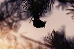 DSC_5432 (kryztophe) Tags: european crested tit herrerillo capuchino chapimdepoupa haubenmeise búbos cinege kuifmees cincia dal ciuffo tofsmes toppmeis sýkorka chochlatá sýkora parukářka topmejse töyhtötiainen mallerenga emplomallada europea toppmeisa czubatka europejska cekulzīlīte čopasta sinica хохлатая синица カンムリガラ 凤头山雀 鳳頭山雀