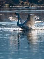 Röllingwiesen2-2019-3385 (clickraa) Tags: röllingwiese schwäne swans