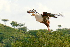 African fish eagle (Ralph Apeldoorn) Tags: africanfisheagle baringo bird eagle kenya lake lakebaringo lakebaringonationalpark nationalpark bondelaufa kenia ke