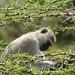 Vervet monkey in acacia tree, Masai Mara