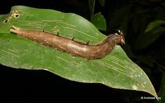 Handsome caterpillar of an Owl butterfly, Caligo brasiliensis morpheus, Nymphalidae (Ecuador Megadiverso) Tags: andreaskay caligosp caterpillar ecuador nymphalidae owlbutterfly caligobrasiliensismorpheus caligoeurilochus