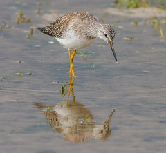 DSC6293  Lesser Yellowlegs... (Jeff Lack Wildlife&Nature) Tags: lesseryellowlegs yellowlegs birds avian animal animals wildlife wildbirds wetlands waterbirds waders waterways wildlifephotography jefflackphotography wintervagrant shorebirds seashore seabirds estuaries estuary reservoirs mudflats countryside coastalbirds coastline coast nature