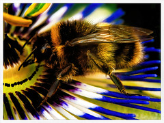 Giant Bee (Mallybee) Tags: mallybee bee bumble passion flower macro closeup wildlife outside lumix dcg9 g9 adapted wild sigma 105mm f28 insect colour colourful yellow gold