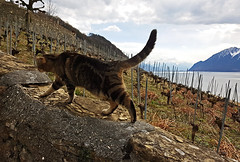Vaud, Switzerland, Geneva Lake (photoriel) Tags: switzerland vaud epesse lavaux genvalake léman nature landscape vineyard winter landscap cat animal