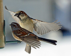 New invention: computer for a feeder (ctberney) Tags: americantreesparrow housesparrow birdfeeder backyard justpretending anthropomorphic winter nature ontario canada