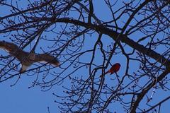 TIMG28033 (Timothy Harry David Gallant) Tags: pentaxks2 stratfordontario backyardphotography northerncardinal brightredbird beautifulbird