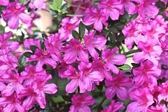 0B6A1589 (Bill Jacomet) Tags: azalea azaleas flower flowers houston tx texas 2019
