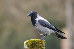 DSC_7711.jpg (dan.bailey1000) Tags: bird cork crow donerailepark ireland wildlife