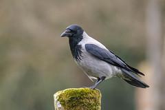 DSC_7711.jpg (dan.bailey1000) Tags: bird cork crow donerailepark ireland wildlife