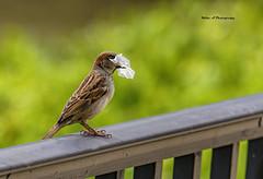 House sparrow (Mike_FL) Tags: housesparrow nikon nikond7500 tamron100400 outdor photograph image