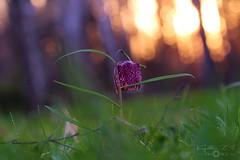 Checkered lily before sunset (Kapi Zoli) Tags: checkered lily before sunset kockásliliom napnyugta előtt fritillaria meleagris nature természet virág flower