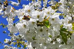 Spring (DameBoudicca) Tags: sweden sverige schweden suecia suède svezia スウェーデン lund linero tree träd baum arbre árbol albero 木 flower blomma blume fleur fiore flor 花 white vit weiss bianco blanc blanco 白 blossom