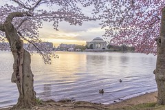 Beautiful morning on the Tidal Basin (brian.swogger) Tags: washington spring dc america usa cherry american us reflection landmark monument states memorial united pink basin tidal tourism blossom travel season flowers historic jefferson flower lake tree district sakura columbia trees colorful symbol nature blossoms april thomas water festival springtime color tower river national skyline day washingtondc city politics potomac tidalbasin foliage bloom cherryblossoms sunrise japanese