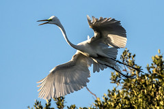 White Egret Landing (dbadair) Tags: outdoor nature wildlife 7dm2 ef100400mm canon florida bird fl bif flight