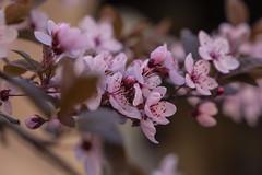 Blutpflaume 'Nigra' | Prunus cerasifera 'Nigra' | Colmar (*Photofreaks*) Tags: adengs wwwphotofreakseu march märz 2019 colmar france frankreich elsass alsace blossoms blüten blutpflaume prunuscerasifera