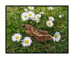 Herbstblatt im Frühling. (jeilmer) Tags: wiese blumen flowers natur gras gänseblümchen blatt autum herbst