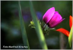 Frühlingserwachen 1 (manfredkirschey) Tags: frühling nature natur garten frühlingserwachen kirschey manfred manfredkirschey