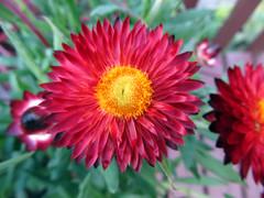 Red Strawflower Blossom (daryl_mitchell) Tags: summer 2018 saskatoon saskatchewan canada flower garden xerochrysum bracteatum