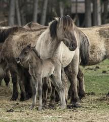 Erstes Wildpferdfohlen 2019 (Light and shade by Monika) Tags: münsterland wildpferd wildlife animalshot animal horse