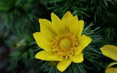 Adonis ramosa (Hugo von Schreck) Tags: hugovonschreck adonisramosa flower blume blüte macro makro canoneosm50 efm1545mmf3563isstm