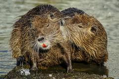 ARX07226_01 (Marc ALMECIJA) Tags: mammifère mammals mammal outdoor outside nature natur eau water wasser aqua ragondin sony rx10m3 montpellier