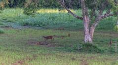 DSC_5395 (Adrian Royle) Tags: malaysia tamannegara travel holiday nature wildlife mammal deer forest outdoors nikon barkingdeer muntjac
