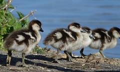 Goslings (hedgehoggarden1) Tags: goslings egyptiangeese birds wildlife nature animals sonycybershot norfolk eastanglia uk chicks sony geese wildfowl