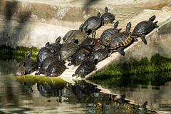 'Rush Hour' (Canadapt) Tags: turtles pond reflection ramp shadow crowd lisbon portugal canadapt