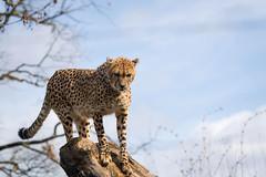 Cheetah high above (Cloudtail the Snow Leopard) Tags: gepard tier animal mammal sã¤ugetier katze cat feline groã raub big beutegreifer cheetah acinonyx jubatus zoo basel