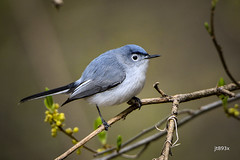 Blue-gray Gnatcatcher (jt893x) Tags: 150600mm bird bluegraygnatcatcher breeding d500 gnatcatcher jt893x male nikon nikond500 polioptilacaerulea sigma sigma150600mmf563dgoshsms songbird thesunshinegroup coth alittlebeauty coth5 sunrays5