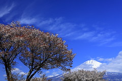 Mt. Fuji & Geba-sakura in Kariyado (ULTRA Tama) Tags: mt fuji gebasakura kariyado mtfuji mtfujiwhc japan shizuoka todays dayliphoto instadaily photogenic igjapan loversnippon worldcaptures flickrfriday 2019 worldheritage tabijyo genicmag retripjapan retripshizuoka explorejapan traveljapan radiof artofimages ftimes genictravel geniclife genicblue genicjapan genicphoto genictown genicsummer tabijyosummer tabijyomaptwn tabijyotravel flickrheroes brilliant flickr celebrities natural decay macro canonflickraward thecherrytreeisover1 000yearsold