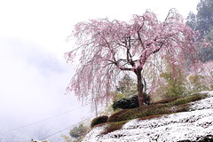 Cherry Blossoms in Snow (seiji2012) Tags: あきる野市 乙津 しだれ桜 雪 japan akiruno cherrytree snow 五日市