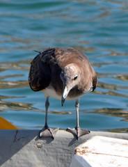 SEAGULL,  MUSCAT,  OMAN (vermillion$baby) Tags: omanchannel omansea bird coastline cormorant muscat oman rocky seabird uae gull gulls ocean seabirds