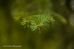 Spruce (Anna Calvert Photography) Tags: australia canberra flora floral flowers garden landscape macro macrophotography mygarden nature outdoors petals plants cypress tree spruce green