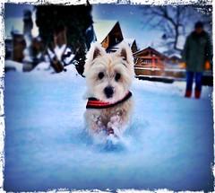 Sunny im Schnee (eigi11) Tags: westie west highland terrier dog schnee snow white hss