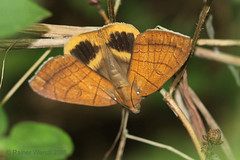 IMG_2079  Achaea catocalina (Raiwen) Tags: achaea achaeacatocalina erebinae erebidae noctuoidea basseguinée guinea westafrica africa lepidoptera