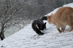 "Ziva: ""Look At This Good Snow, Brad. It's Dry!!!"" ❅ (Xena*best friend*) Tags: zivadavid weathergirl zd bradpitt bp cats whiskers feline katzen gatto gato chats furry fur pussycat feral tiger pets kittens kitty animals piedmontitaly piemonte canoneos760d italy wood woods wildanimals wild paws calico markings ©allrightsreserved purr digitalrebelt6s efs18135mm flickr outdoor animal pet photo nature winter cold catlover snow frozen freezing catsontheroof snowyroof"